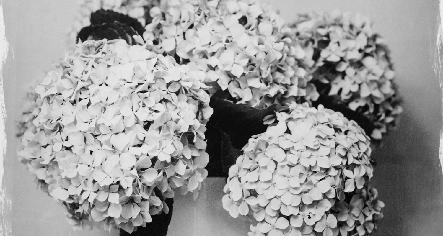 Stephen Inggs-HackelBury Fine Art-detail image-black and white photograph of hydrangea flowers