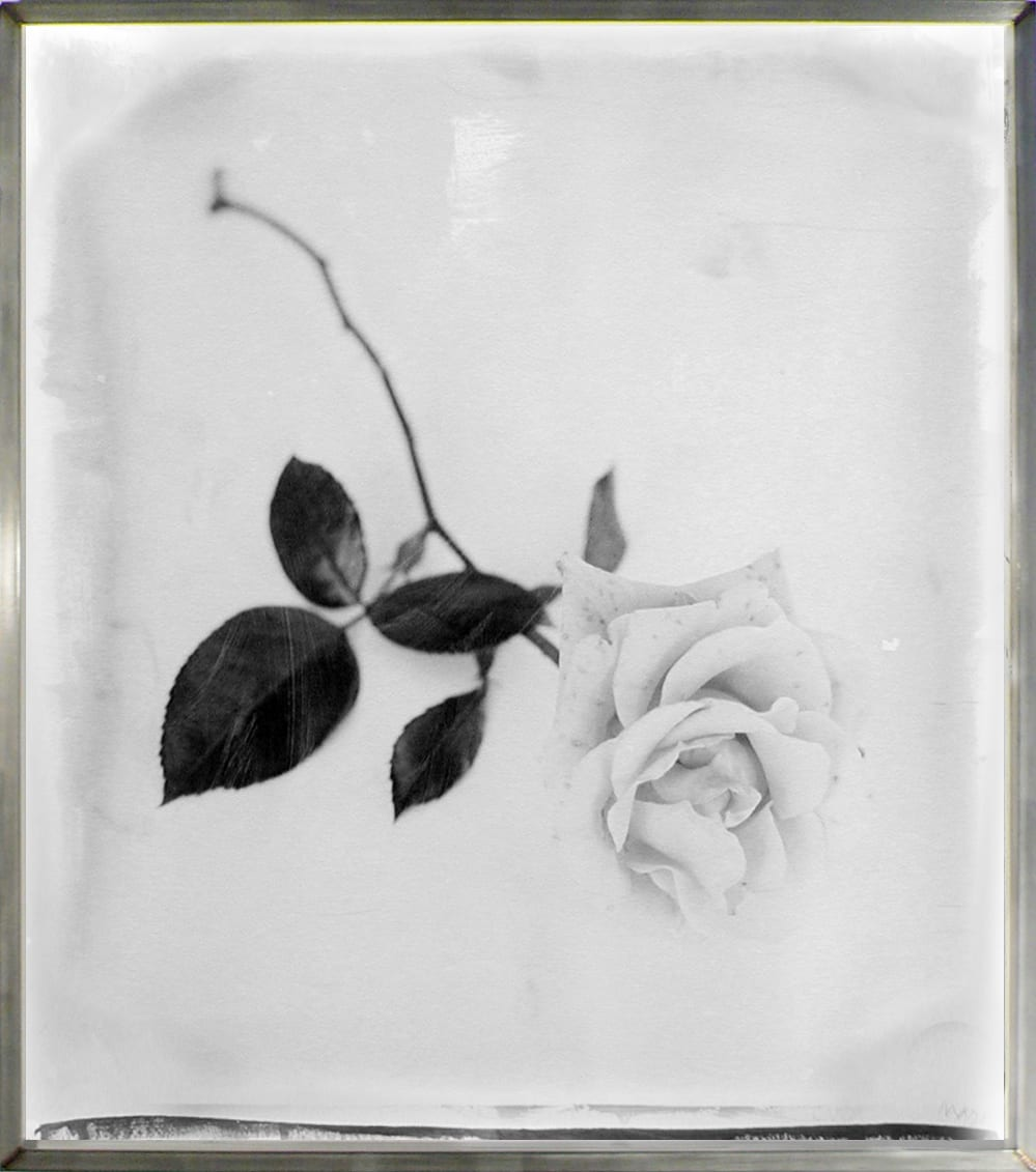 Stephen Inggs artwork - black and white photograph of a rose